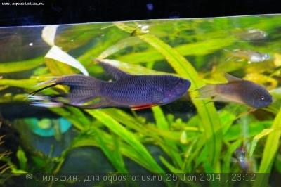 Мой аквариум 90 литров Гильфин  - IMGP9915.JPG