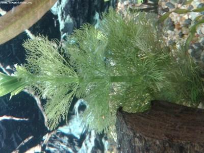 Аквариумные растения - опознание растений. - 20140115_213844.jpg