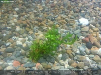 Аквариумные растения - опознание растений. - 20140204_123923.jpg