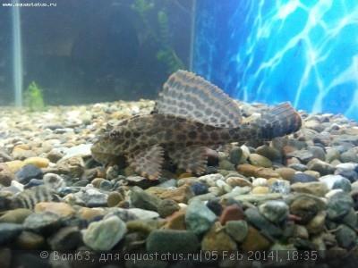 Помогите опознать рыбку опознание рыб  - 20140205_183059.jpg