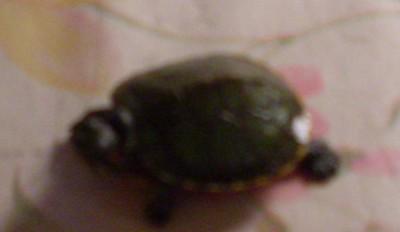 Красноухая черепаха - SDC14014.JPG