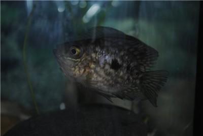 Помогите опознать рыбку опознание рыб  - da80c7056298.jpg