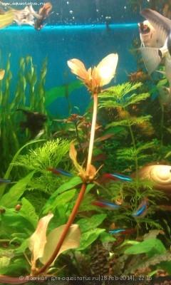 Опознание аквариумных растений - 06.jpg