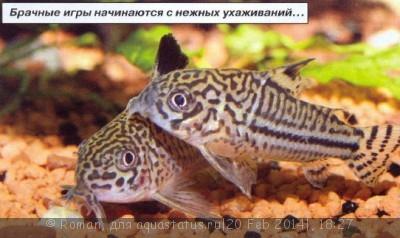 Коридорасы санитары - 4.jpg