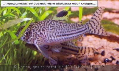 Коридорасы санитары - 5.jpg