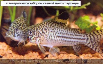 Коридорасы санитары - 6.jpg
