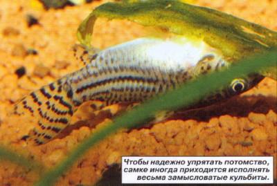 Коридорасы санитары - 8.jpg