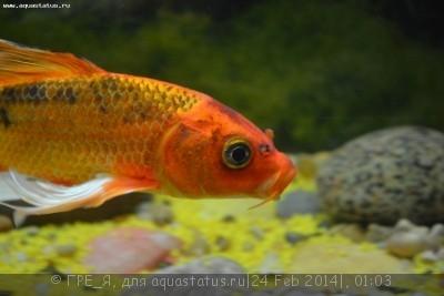Помогите опознать рыбку опознание рыб  - DSC_0448.JPG