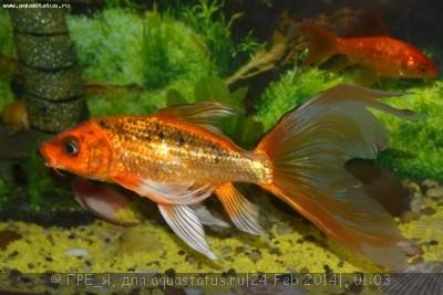 Помогите опознать рыбку опознание рыб  - DSC_0457.JPG