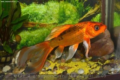 Помогите опознать рыбку опознание рыб  - DSC_0459.JPG
