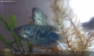 Помогите опознать рыбку опознание рыб  - IMAG0069[1].jpg