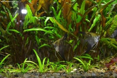 Помогите опознать рыбку опознание рыб  - DSC_0022.JPG