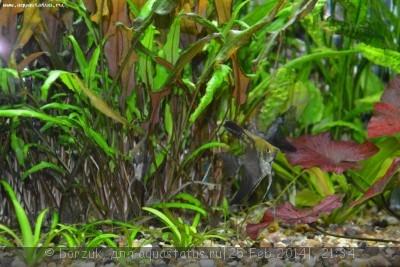 Помогите опознать рыбку опознание рыб  - DSC_0023.JPG