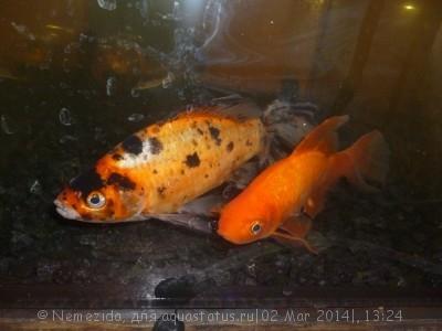Помогите опознать рыбку опознание рыб  - P1200827.JPG