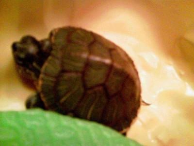 Красноухая черепаха - Фото 0656.jpg