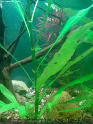 Опознание аквариумных растений - IMG_20140308_215732.jpg