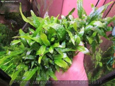 Опознание аквариумных растений - Изображение 075.jpg