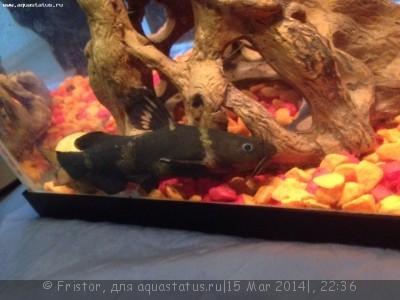 Помогите опознать рыбку опознание рыб  - r3YGIhLVdl0.jpg