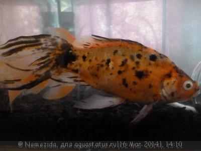 Помогите опознать рыбку опознание рыб  - 51944.jpg