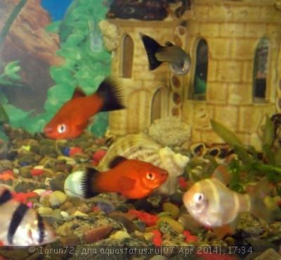 Помогите опознать рыбку опознание рыб  - 53.JPG