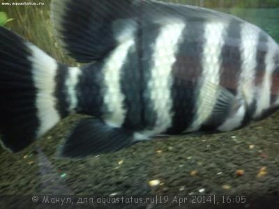 Помогите опознать рыбку опознание рыб  - DSC_0079.jpg