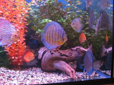 Мои пресноводные аквариумы Сергей  - IMG_0099.JPG