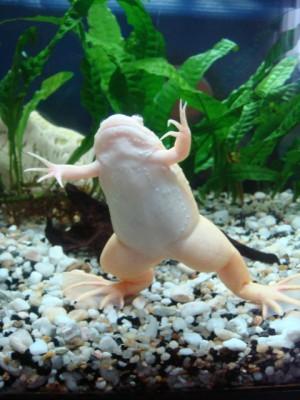 Шпорцевые лягушки - Lang 187.jpg