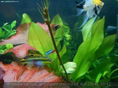 Опознание аквариумных растений - DSCN2474.JPG