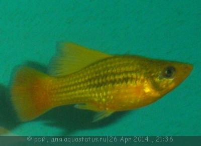 Помогите опознать рыбку опознание рыб  - P4260306.JPG
