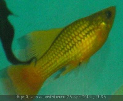 Помогите опознать рыбку опознание рыб  - P4260316.JPG