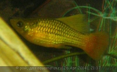 Помогите опознать рыбку опознание рыб  - P4260309.JPG