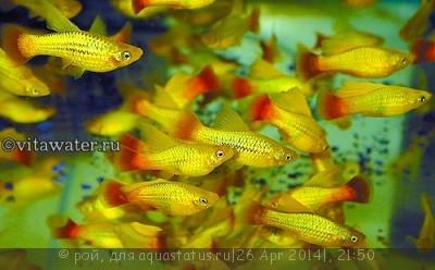Помогите опознать рыбку опознание рыб  - пецилия.jpg
