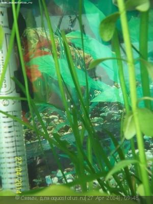 Опознание аквариумных растений - 100_1891.JPG