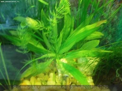 Аквариумные растения - опознание растений. - 100_1988.JPG