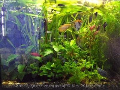 Мой ленивый аквариум 170 литров shok  - SAM_0010.JPG