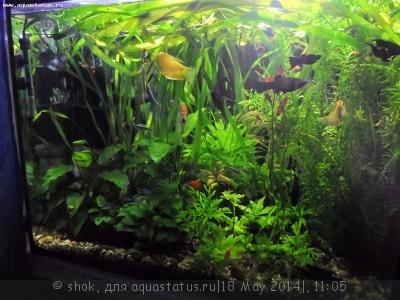 Мой ленивый аквариум 170 литров shok  - SAM_0097.JPG