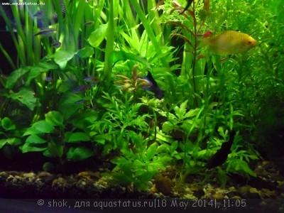 Мой ленивый аквариум 170 литров shok  - SAM_0115.JPG