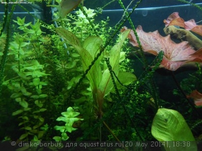 Аквариумные растения - опознание растений. - DSCN2549.JPG