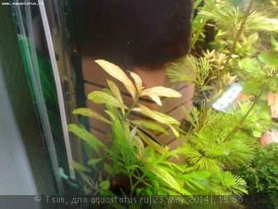 Аквариумные растения - опознание растений. - 20140523_185029.jpg