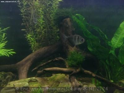 Мой первый аквариум-травник 140 литров Eric  - WP_20140517_008.jpg