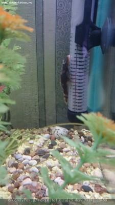Помогите опознать рыбку опознание рыб  - DSC_0042.JPG