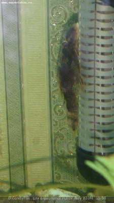 Помогите опознать рыбку опознание рыб  - DSC_0044.JPG