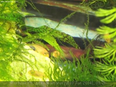 Помогите опознать рыбку опознание рыб  - DSCF1724.JPG