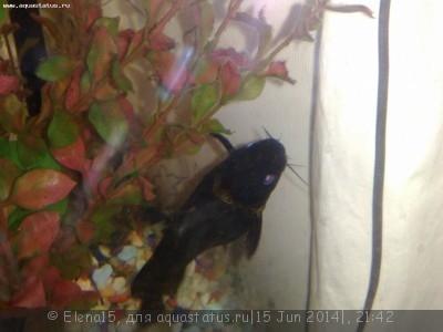 Помогите опознать рыбку опознание рыб  - 140620141236.jpg