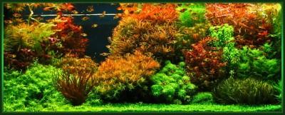 Все о выращивании аквариумных растений доступными словами - голандия.jpg