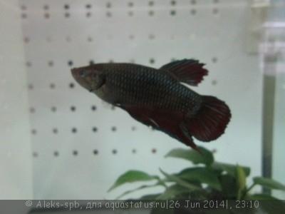 Помогите опознать рыбку опознание рыб  - IMG_0721.JPG