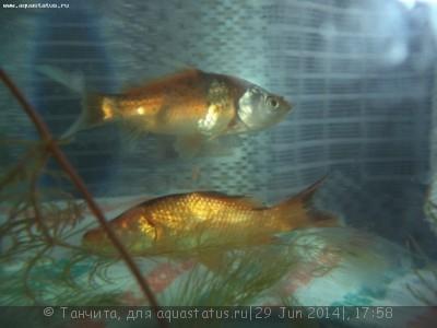 Помогите опознать рыбку опознание рыб  - DSC00411.JPG