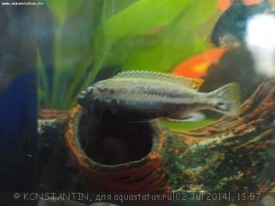 Помогите опознать рыбку опознание рыб  - P6250731.JPG