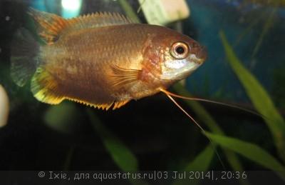 Помогите опознать рыбку опознание рыб  - IMG_2294.jpg