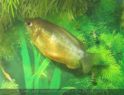 Помогите опознать рыбку опознание рыб  - IMG_2299.jpg
